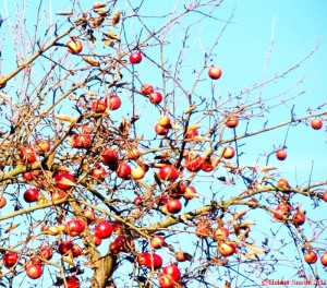 Wonders of Nature: Remaining Apples